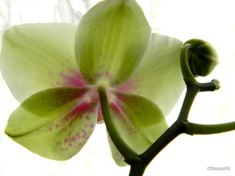 HOMEGROWN ORCHID.... - 1 (BACKWARD VIEW) by ctheworld