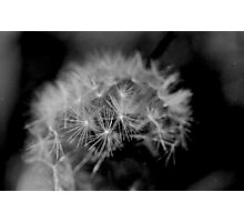 Macro Dandelion Black and White  Photographic Print