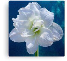 White Amaryllis Canvas Print