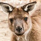 Portrait of a Old Man Kangaroo by DPalmer