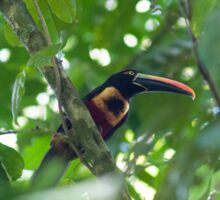 Fiery-billed Aracari Sticker