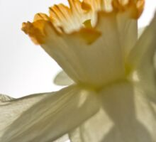 Translucent Daffodil Sticker