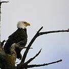 eagle striking a pose by dedmanshootn
