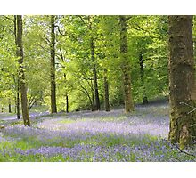 Bluebells at Brathay woods Ambleside. Photographic Print