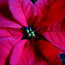 Journey into Scarlet - Poinsettia Macro by kathrynsgallery