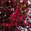 Crimson Tree Blossoms by MidnightMelody