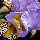 Iris queen by Kornrawiee