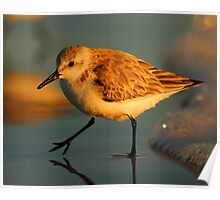 Sandpiper Walking at Sunset Poster