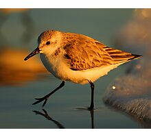 Sandpiper Walking at Sunset Photographic Print