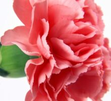 Pink Carnation Sticker
