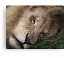 Smiling? Lion Canvas Print