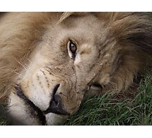 Smiling? Lion Photographic Print