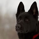 Black German Shepherd I by Megan Noble