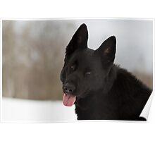 Smiling German Shepherd Poster