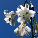 Early Easter Lily........! by Roy  Massicks
