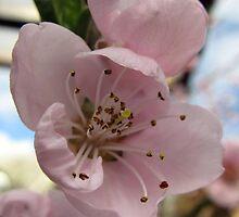 Cerry blossom 2 by Heidi Mooney-Hill