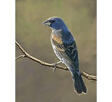 Blue Grosbeak Photographic Print