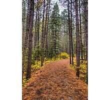 Path between the pines Photographic Print