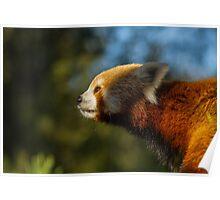 Red panda nose Poster
