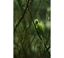 Green Ringnecked Parakeet Photographic Print