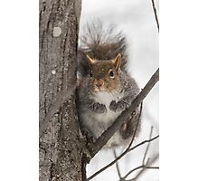 Large Grey Squirrel in a tree Photographic Print