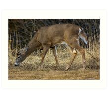 White-Tailed Deer Eating Art Print
