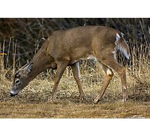 White-Tailed Deer Eating Photographic Print