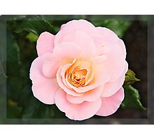 Pink rose in frame Photographic Print
