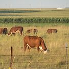 Beef Cattle in Pasture by Deb Fedeler
