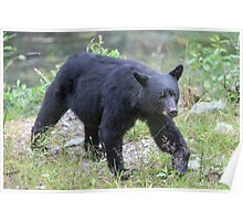Black Bear Sow Poster