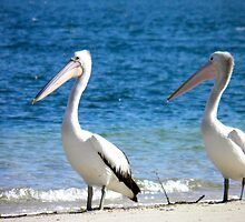 Pelican Pair by Michelle Ricketts