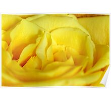 Yellow rose macro Poster