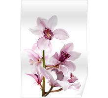 White and pink orchids Poster