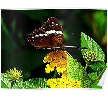 Black Butterfly on Yellow Lantana Poster