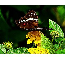 Black Butterfly on Yellow Lantana Photographic Print