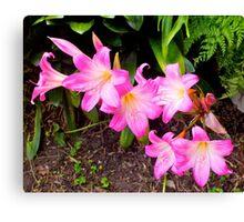 First bloom of the season - Belladonna. Canvas Print