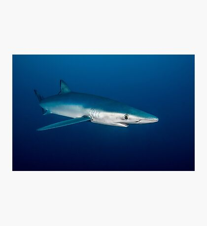 Blue Shark, South Africa Photographic Print