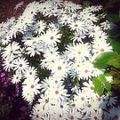Glorious Daisies in Garden by EdsMum