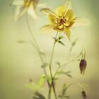 Yellow columbine flowers by JBlaminsky
