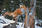 Red Fox On Stump by Michael Cummings