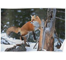 Red Fox On Stump Poster