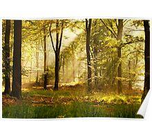 Golden light in the beeach forest Poster