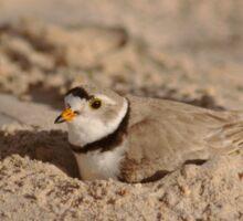 Nesting Piping plover Sticker