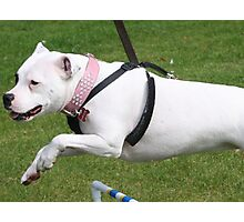 Minnie the Staffy does Agility Photographic Print