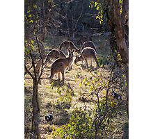 Kangaroos and Magpies - Canberra - Australia Photographic Print