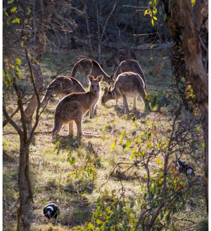 Kangaroos and Magpies - Canberra - Australia Sticker