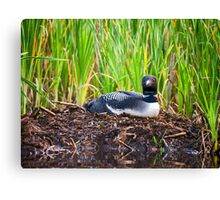 Loon on Nest - Norway - Maine Canvas Print