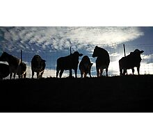Cows Hanging Out. Photographic Print