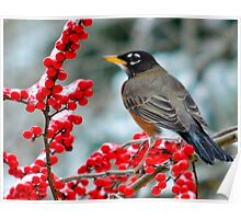 Robin Perched on Snowy Winterberry Poster