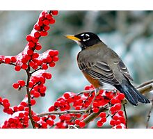 Robin Perched on Snowy Winterberry Photographic Print
